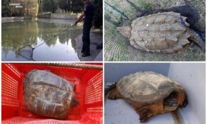 Tartarughe azzannatrici in Liguria: ecco perché bisogna stare molto attenti