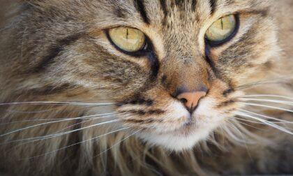 Gatto morde la padrona e poi muore, positivo al rarissimo Lyssavirus: che cos'è