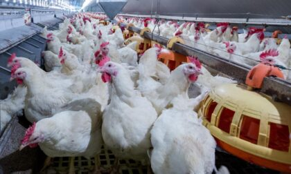 Aia resta aperta a metà malgrado il Covid, altrimenti doverebbe abbattere un milione e mezzo di polli