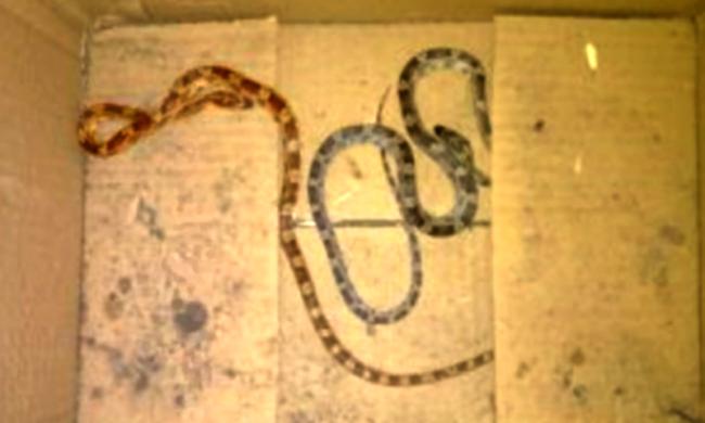 Si disfa del terrario dei serpenti svuotandolo nel cassonetto dell'umido