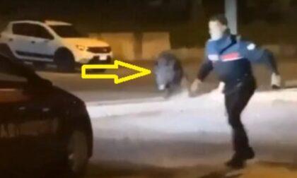 Ancora incidenti fra auto e cinghiali (e c'è chi si ruba pure la carcassa...)