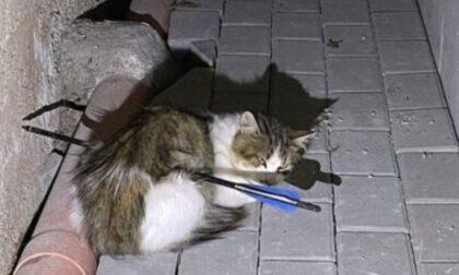 Gatto trafitto da una freccia e ucciso