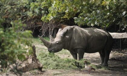 """Addio """"nonno"""" Toby: era il rinoceronte più anziano del mondo"""
